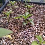 Junge Paprikapflanzen in der Aquaponik-Anlage