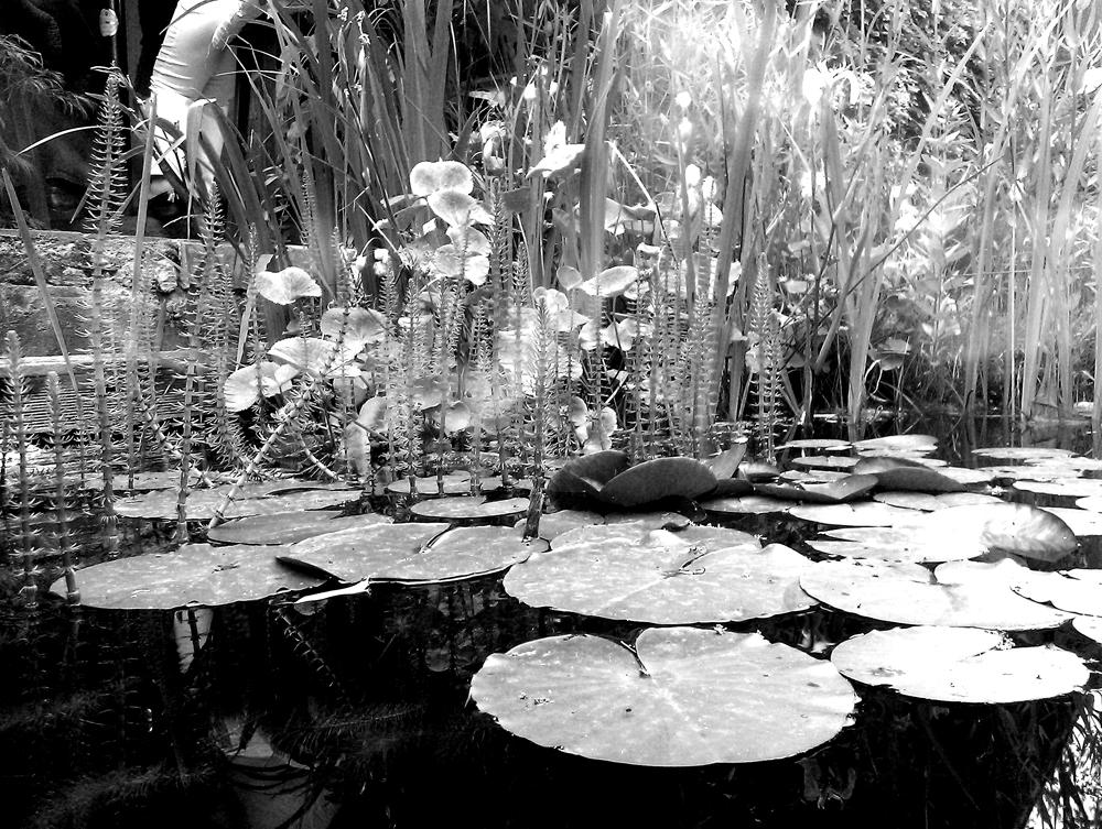 Tannenwedel und Seerosen in schwarzweiss