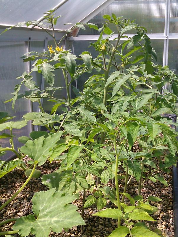 Blühende Tomatenpflanzen