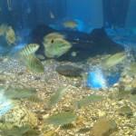 Tilapia Jungfische