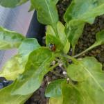Marienkäfer auf Paprikapflanze
