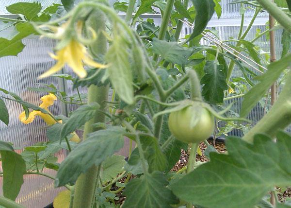 Noch junge Tomatenfrucht