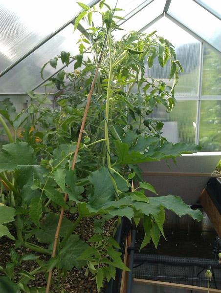 Tomaten - die ersten Stützmaßnahmen wurden ergriffen.