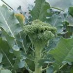 Brokkoli kurz vor der Ernte