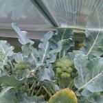 Blick auf Brokkolipflanzen