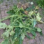 Sehr schade: Die schöne Zucchinipflanze musste weg.