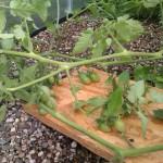 Bretter verhindern, dass die Tomaten im Kies bzw. Wasser liegen