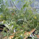 Abstützung der Tomaten oberhalb vom Kies