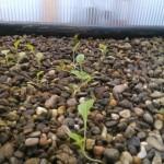 Junger Eichblatt-Salat