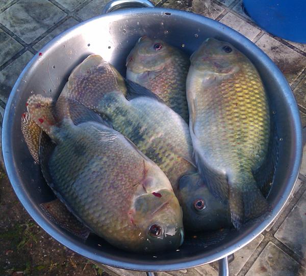 8 Tilapien frisch aus der Aquaponikanlage