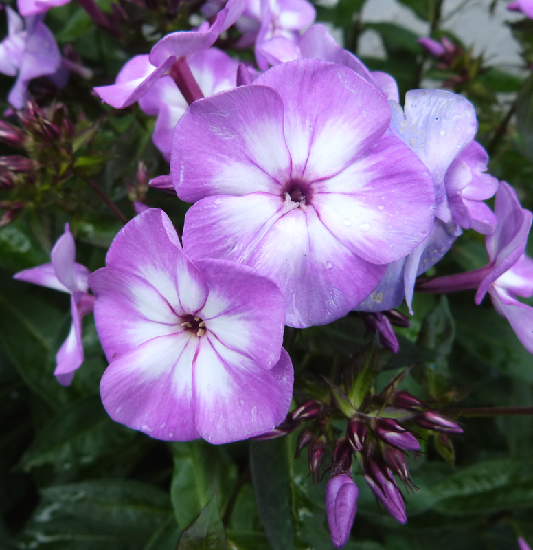 Phlox oder Flammenblume (Polemoniaceae)
