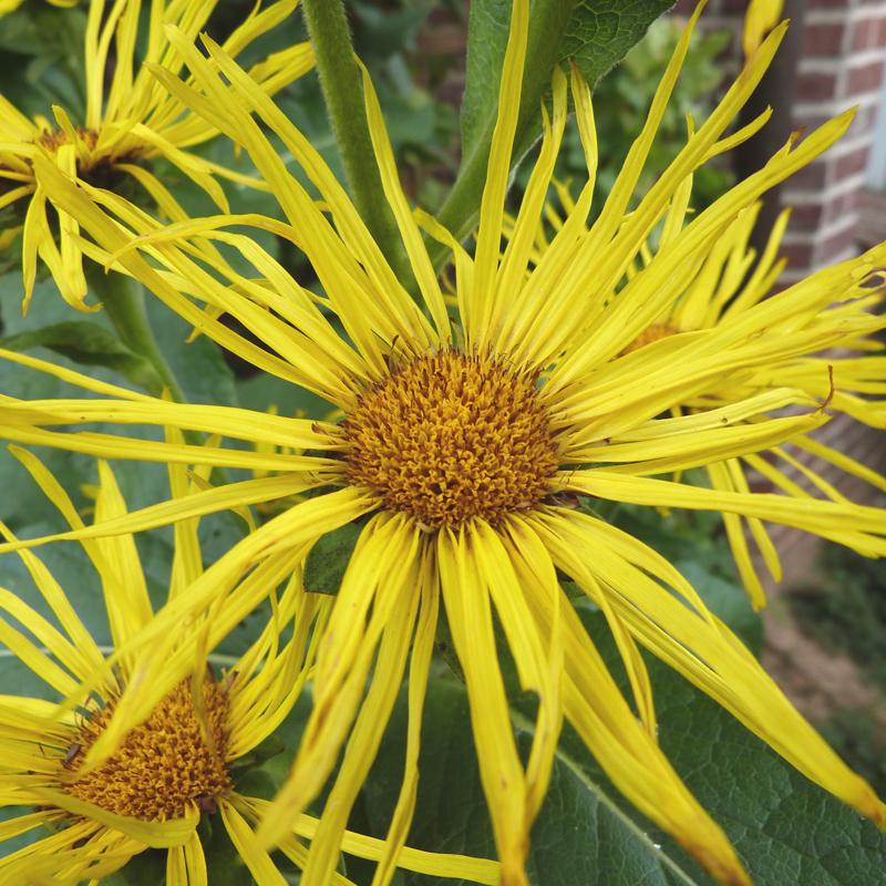 Ochsenauge oder Weidenblättriges Ochsenauge oder Rindsauge (Buphthalmum salicifolium)