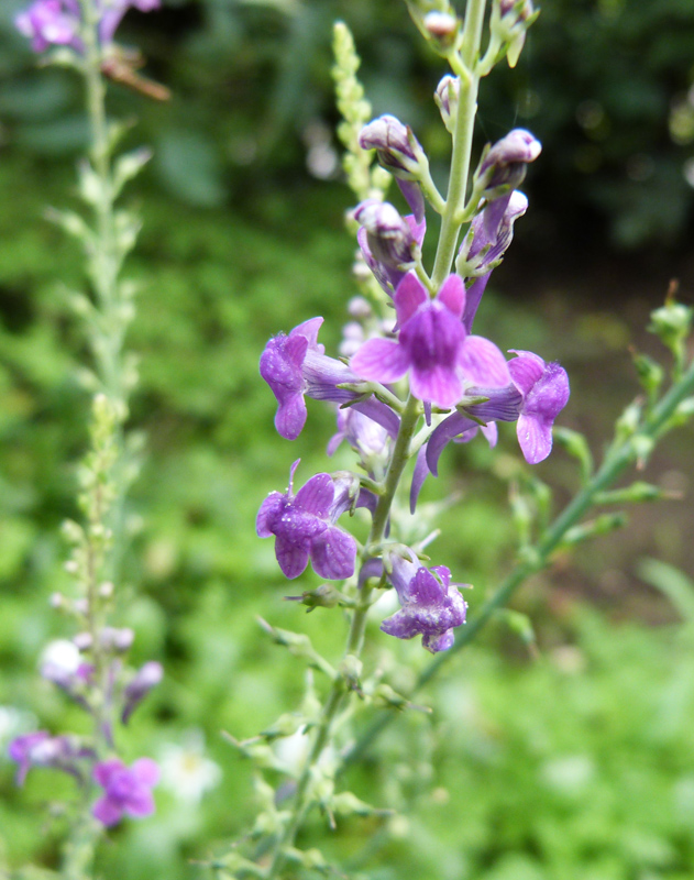 Leinkraut (Linaria purpurea)
