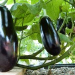 auberginen_2